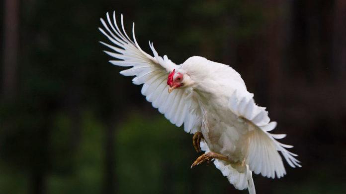 pollo in volo